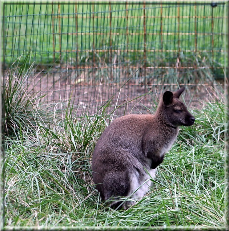 un petit kangourou tranquille Kangou10