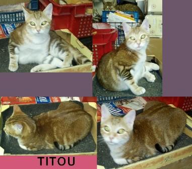 TITOU -tigré roux - né 04/2013  Titou10