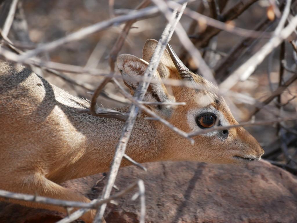 Dik-dik, Namibie P1020311