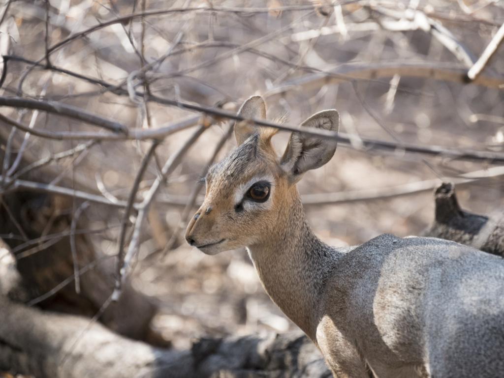 Dik-dik, Namibie P1020312