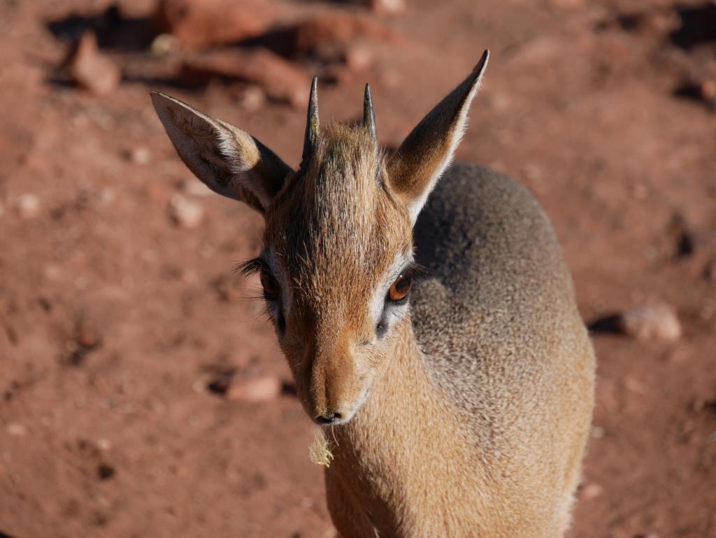 Dik-dik, Namibie P1020315