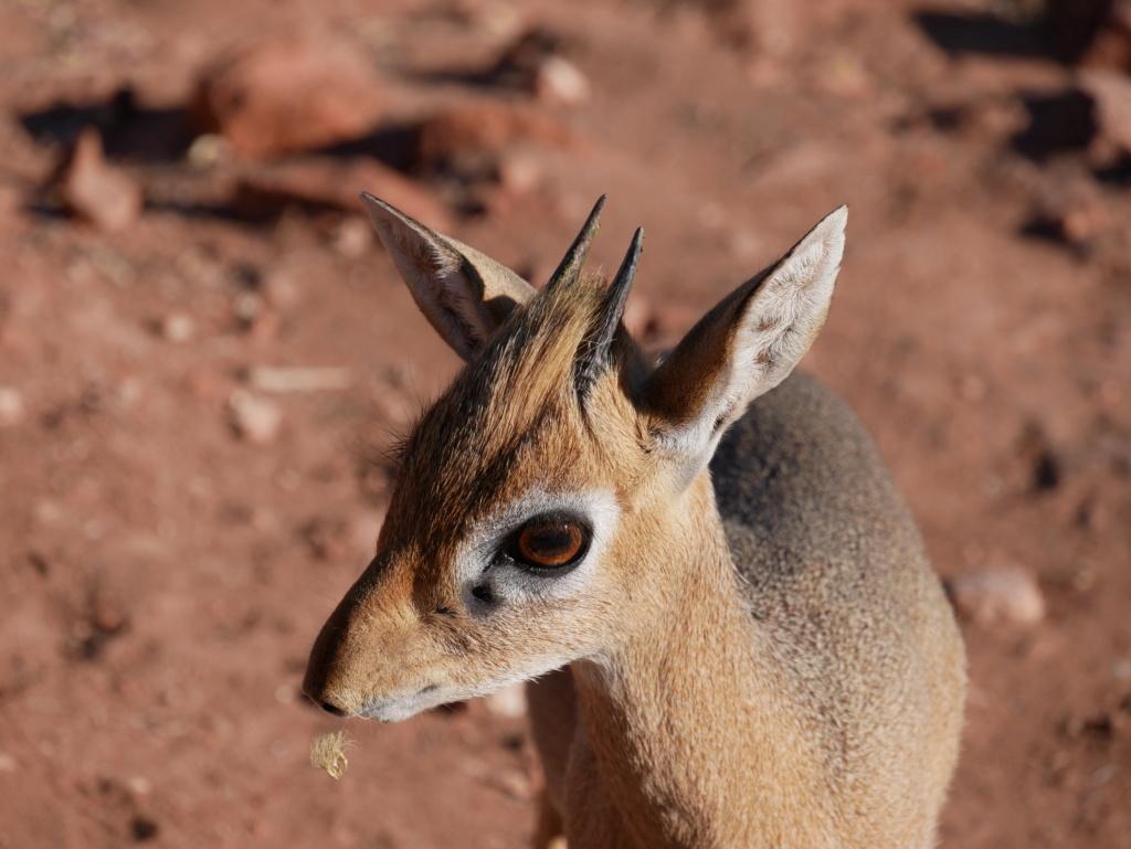 Dik-dik, Namibie P1020316