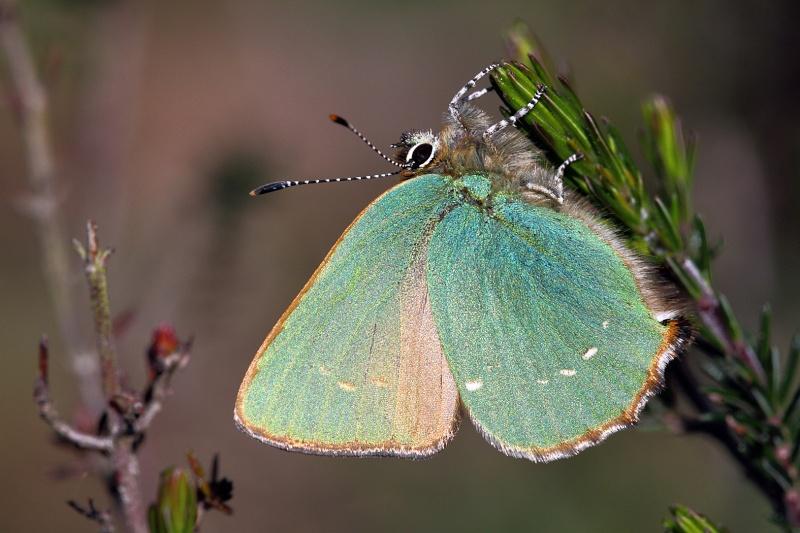 Premières observations de papillons en 2014 Img_0224