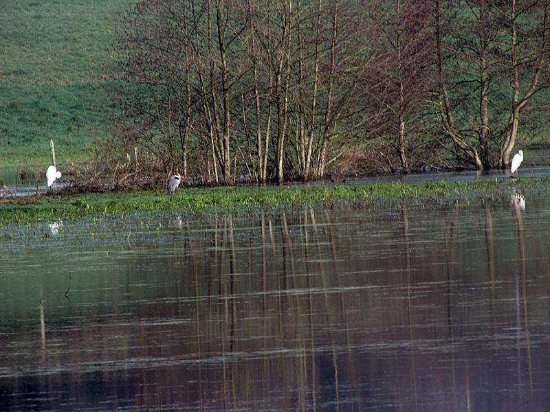 Grande aigrette (Ardea alba) [Casmerodius albus] Img_0311