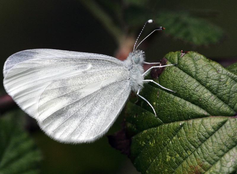 Premières observations de papillons en 2014 - Page 2 Img_0324
