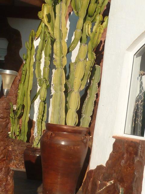 Euphorbia candelabrum 01-01-10