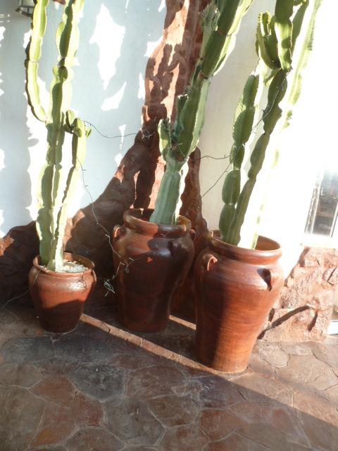 Euphorbia candelabrum 01-01-11