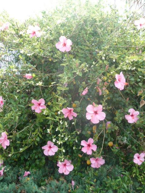 Hibiscus rosa-sinensis et hybrides - conseils 1-p11011