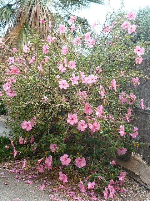 Hibiscus rosa-sinensis et hybrides - conseils 1-p11012