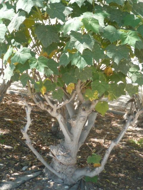 Hibiscus mutabilis [Identification] 1-p11019