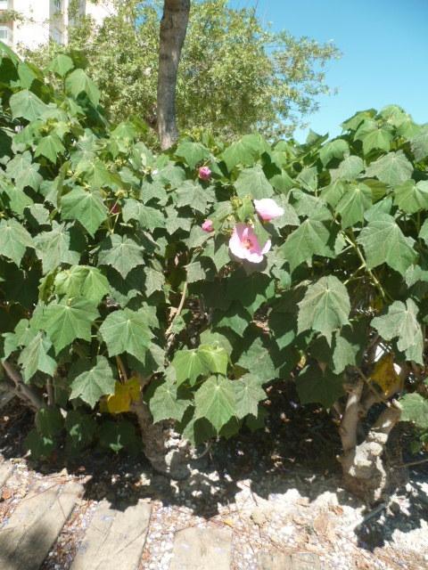 Hibiscus mutabilis [Identification] 1-p11020