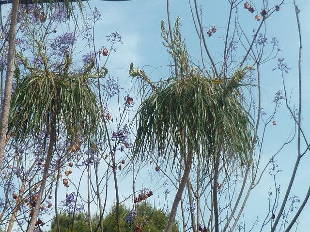 Dracaena marginata - dragonnier de Madagascar 1-p11025