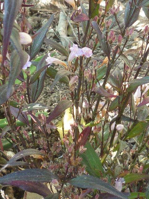 Strobilanthes anisophyllus 'Brunetthy' 24-02-10