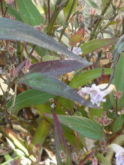 Strobilanthes anisophyllus 'Brunetthy' 24-02-11