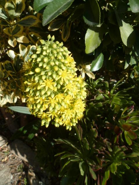 Aeonium arboreum 27-12-10