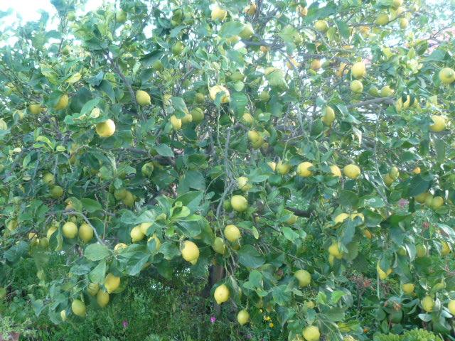 Citrus limon - citronnier des quatre saisons - Page 3 31-01-10