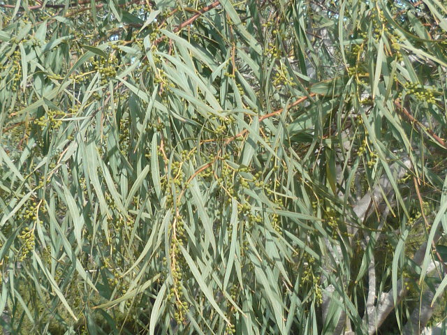Acacia saligna Acacia10