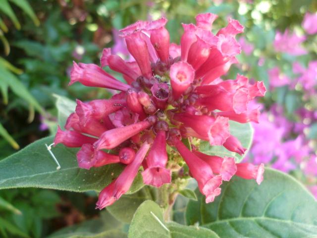 bouquets déshydratés - Page 2 Adeniu16