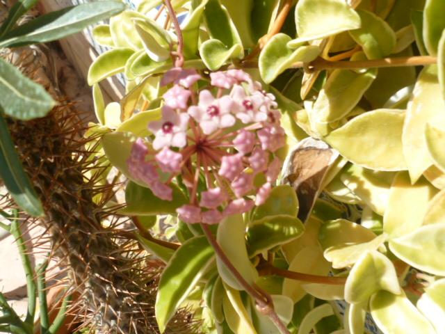 bouquets déshydratés - Page 2 Adeniu18