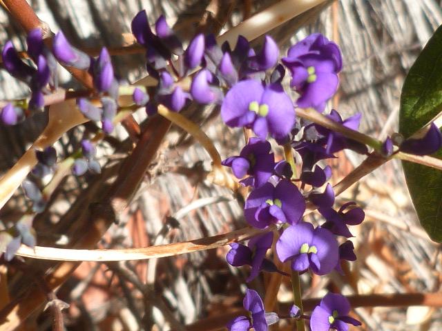 Hardenbergia violacea - Page 2 Aeoniu13