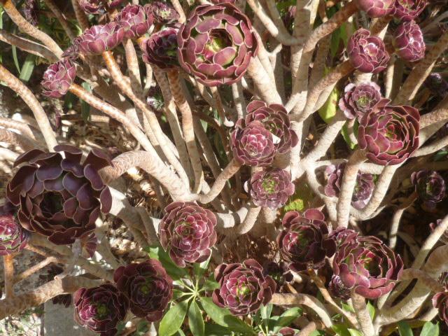 Aeonium arboreum 'Atropurpureum' - Page 4 Aeoniu15