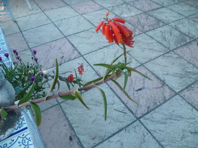 Aloe arborescens - Page 2 Aloe_010