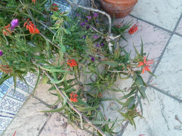 Aloe arborescens - Page 2 Aloe_012