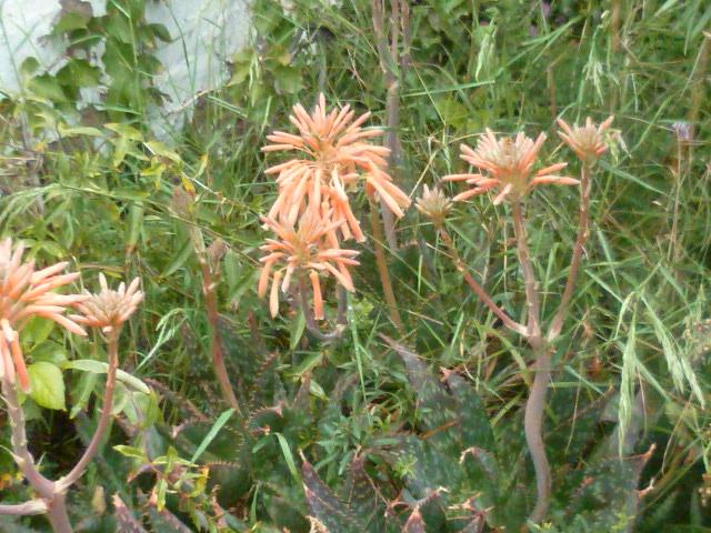 Aloe maculata Aloe_013