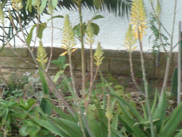 Brassées fleuries - Page 2 Aloe_015