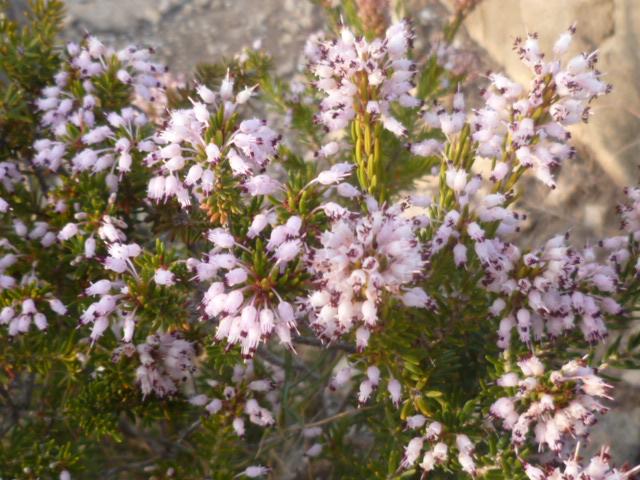 Erica multiflora - bruyère à fleurs nombreuses - Page 2 Aloe_d18