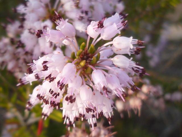 Erica multiflora - bruyère à fleurs nombreuses - Page 2 Aloe_d19