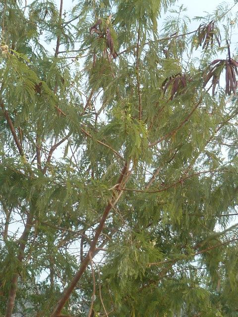 Leucaena leucocephala Aloe_d20