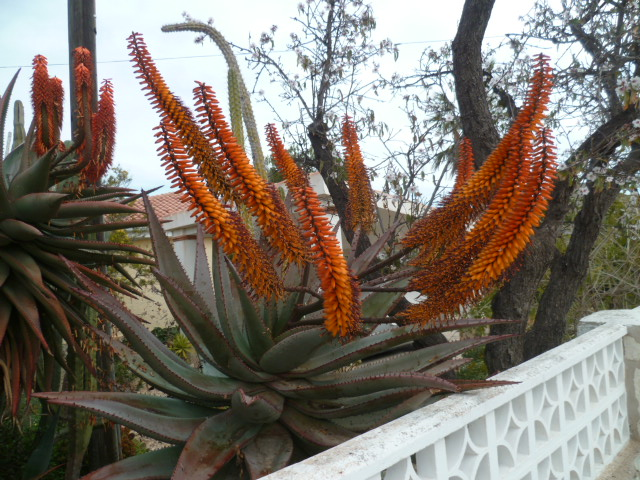 Aloe ferox Aloe_f10