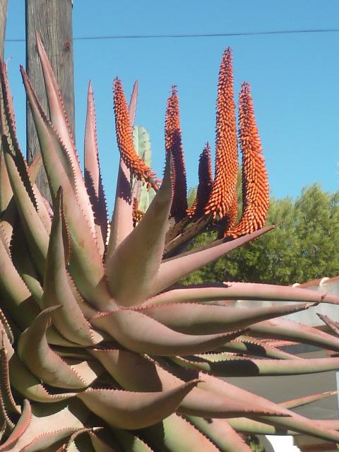 Aloe ferox Aloe_f11
