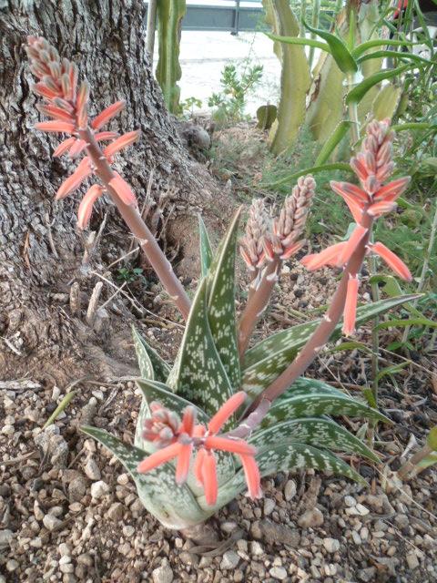 Aloe variegata - Page 3 Aloe_v10