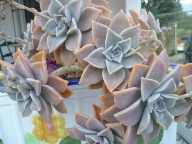 brins de printemps Aloe_v12