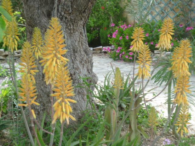 Aloe hybride de A. vera ? [Identification en cours] Aloes_11