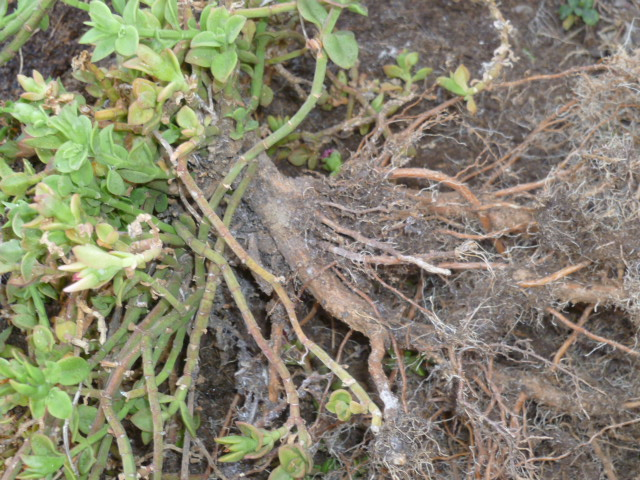 Mesembryanthemum cordifolium (= Aptenia cordifolia) Apteni10