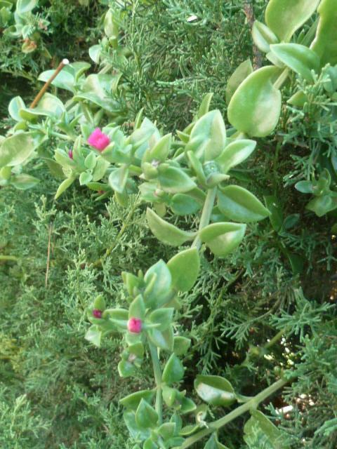 Mesembryanthemum cordifolium (= Aptenia cordifolia) - Page 2 Apteni15