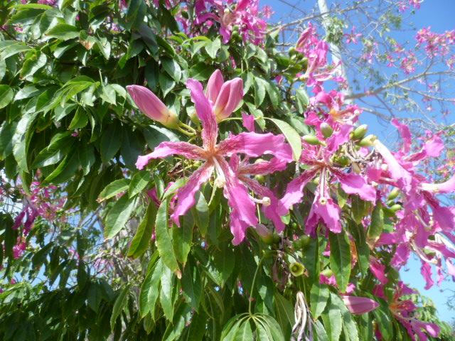 Ceiba speciosa (= Chorisia speciosa) - Page 3 Arbre_10