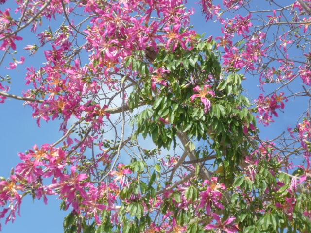 Ceiba speciosa (= Chorisia speciosa) - Page 3 Arbre_12