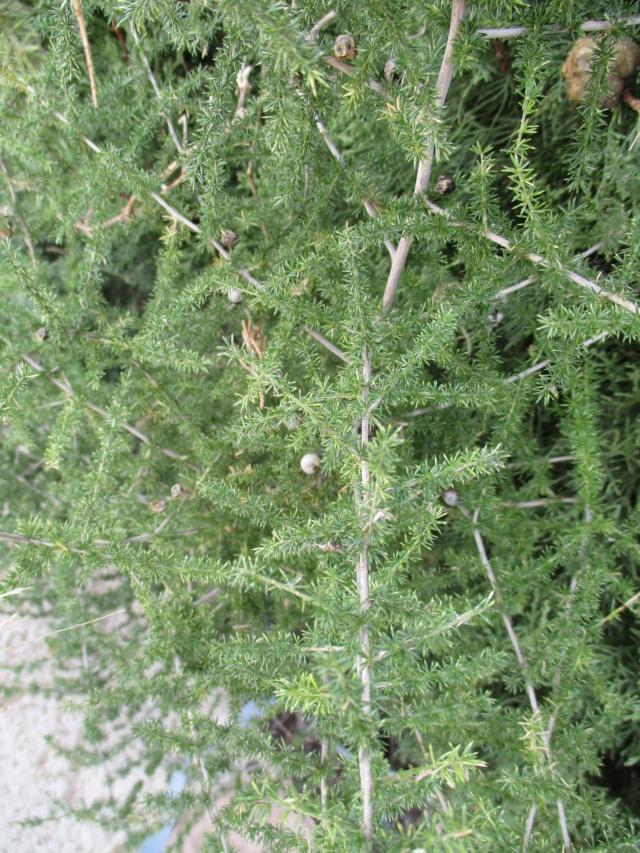 Asparagus acutifolius Aspara13