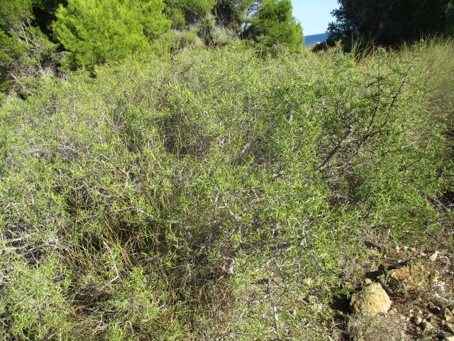 Asparagus horridus Aspara16
