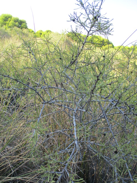 Asparagus horridus Aspara17