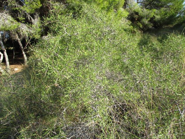 Asparagus horridus Aspara18