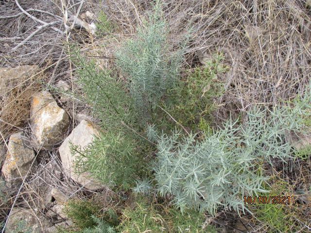 Asparagus horridus Aspara23