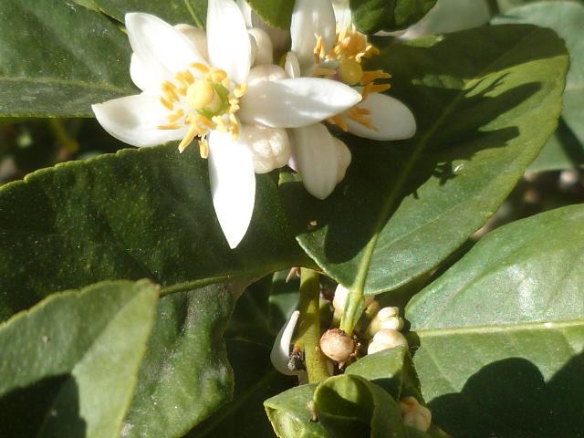 Citrus aurantiifolia - lime, citron vert Aurant11