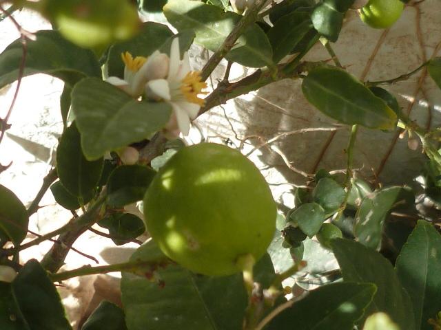 Citrus aurantiifolia - lime, citron vert Aurant12