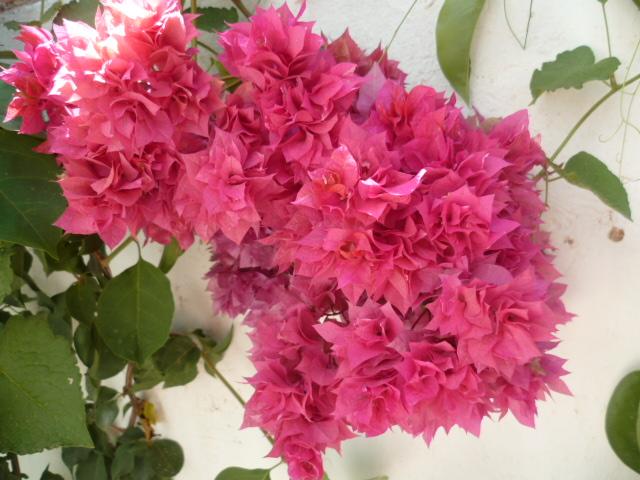 bouquets déshydratés Bougai18