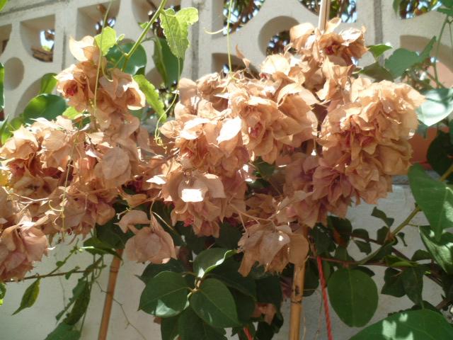 bouquets déshydratés Bougai19